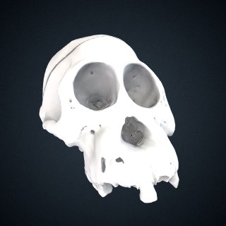 3d model of Pongo abelii: cranium