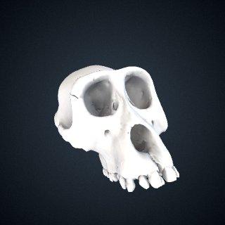 3d model of Gorilla gorilla gorilla: Cranium