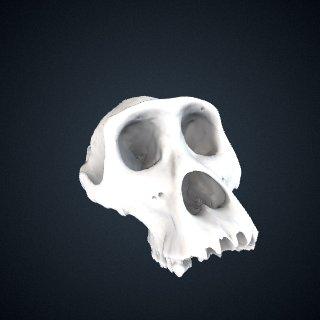 3d model of Gorilla beringei graueri: Cranium
