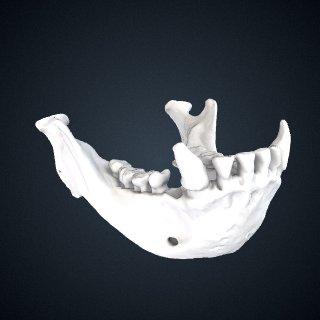 3d model of Hylobates muelleri muelleri: Mandible