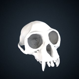 3d model of Trachypithecus germaini caudalis: Cranium