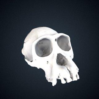 3d model of Pan troglodytes: Cranium