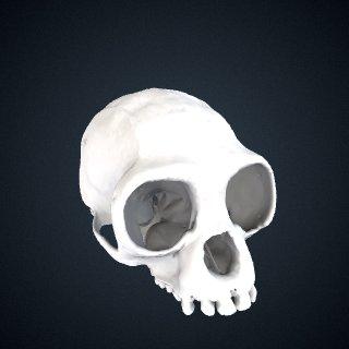 3d model of Hylobates lar x sp.: Cranium