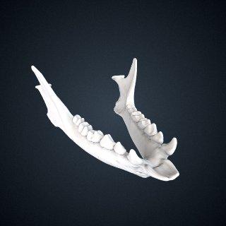 3d model of Eulemur rufus: Mandible