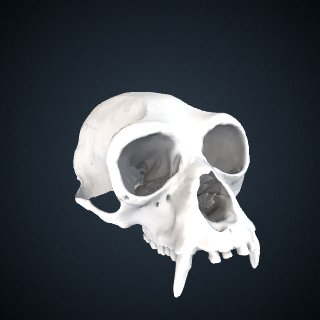 3d model of Symphalangus syndactylus: Cranium