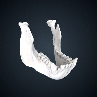 3d model of Gorilla beringei beringei: Mandible
