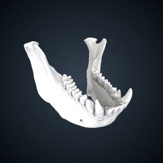 3d model of Simias concolor: Mandible