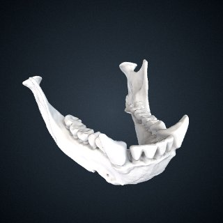 3d model of Hylobates lar entelloides: Mandible