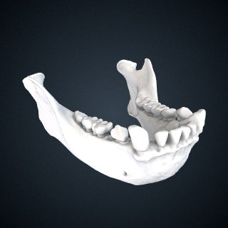 3d model of Hylobates lar: Mandible