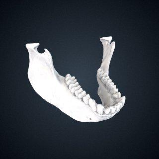 3d model of Trachypithecus ebenus: Mandible