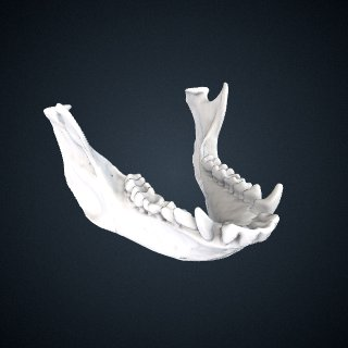 3d model of Cercopithecus petaurista: Mandible