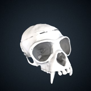 3d model of Hylobates agilis: Cranium