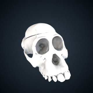 3d model of Pongo pygmaeus